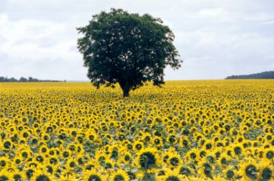 Loire (France) - a field of sunflowers