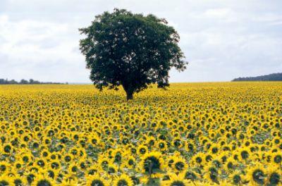 Loire (France) - a field of sunflowers